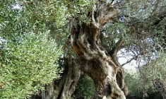 Lun olive-groves